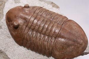 Russian-trilobite-Asaphus-raniceps-DALMAN-1827-fossil-Russia