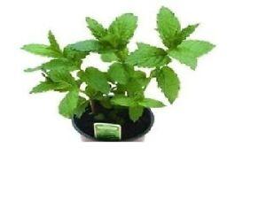 500pcs Pack Wholesale Spearmint Mint Mentha Herb Flower Plant Seeds Garden 2018