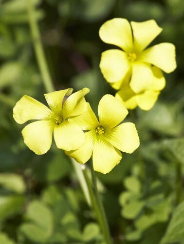 Garten Pflanzen Samen winterhart Ziergras Zierpflanze Saatgut Kräuter NELKENWURZ