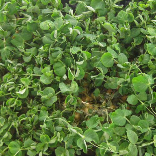 Bébé Leaf-PEA Serge 400 graines