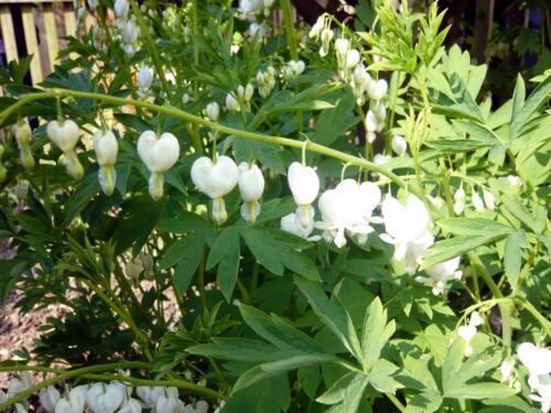 Flower of Romance *5 Fresh Seeds * Dicentra Spectabilis Alba Bleeding Hearts