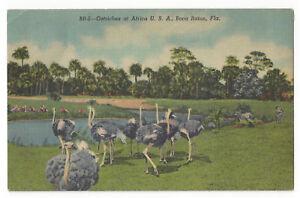 VINTAGE-POSTCARD-OSTRICHES-AFRICA-ANIMAL-KINGDOM-USA-BOCA-RATON-FL-LINEN