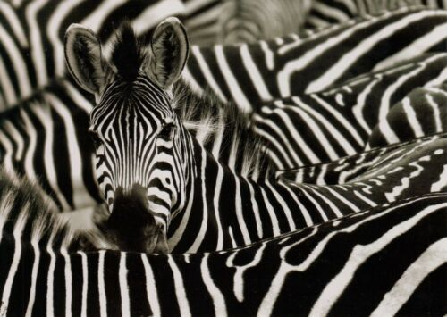 Safari Zebra Wildlife Blank Note Card With Envelope
