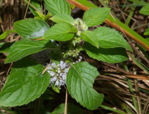 Minzölpflanze Samen japanische Heilminze haplocalyx Mentha arvensis ssp