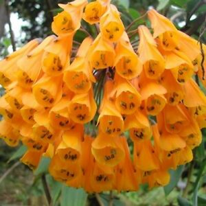 Amazing, rare Yellow Bomarea! - Spectacular vine! - Seeds