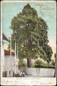 1905-Somma-Lombardo-Storico-cipresso-bimillenario