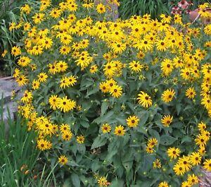 I Die Gelbe Hirta I Winterhart Frosthart Garten Blume Samen
