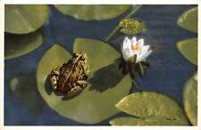 Nymphaea alba, Weisse Seerose White Water-Lily, Frog, Flora Fauna