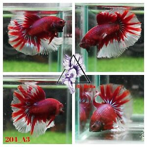 [204_A3]Live Betta Fish High Quality Male Fancy Over Halfmoon 📸Video Included📸