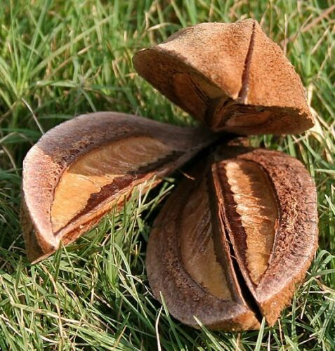 TELLER-BAUM !i Samen Exot Zimmerpflanze Wintergarten Balkon Pflanze exotisch i