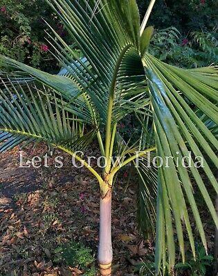 "6/""pot Palm Tree Live Rare Carpoxylon macrospermum 1 Gal"