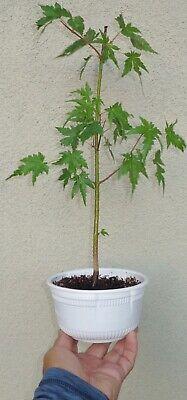 Japanese Green Maple Pre Bonsai Dwarf Shohin Acer Palmatum Ebay