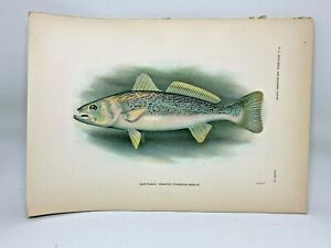 Original-Antique-Lithograph-1907-Hoen-Fish-of-NC-Print-Speckled-Trout-Weakfish