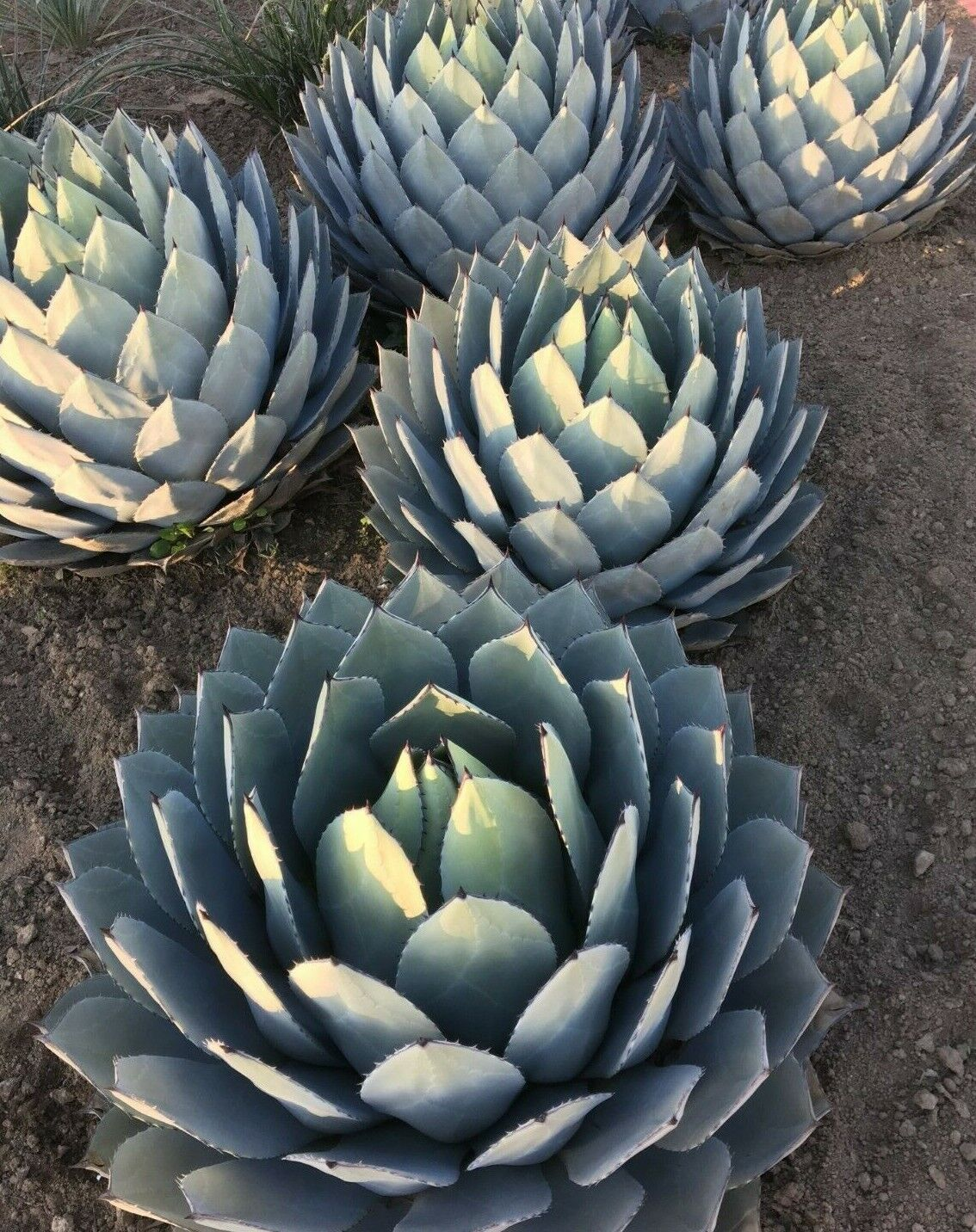 Agave Parry Christmas Gifts Small Gifts for Girlfriend at Christmas
