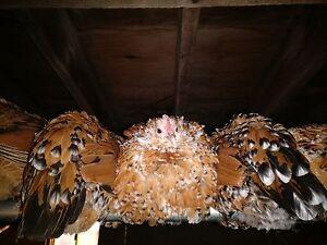 6+ Mille Fleur d'Uccle, Blue Laced Red Wyandotte Bantam Chicken Hatching Eggs