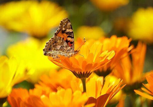 semences calendula pacific beauty orange ☺800 graines de soucis officinal