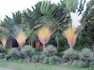 Image Is Loading Traveler Palm SPECTACULAR Tree Banana LIVE Plant Garden