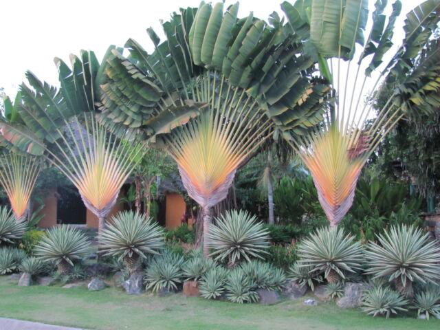 Traveler Palm SPECTACULAR Tree Banana LIVE Plant Garden
