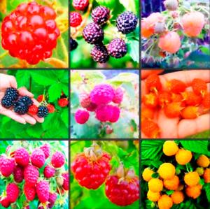 Raspberry Bonsai Mixed Colors Rare Delicious Fruit Flowers Pots 100 Pcs Seeds P Ebay