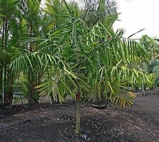 Dypsis rivularis - Sari-Palme - 5 Samen - Palmen Samen