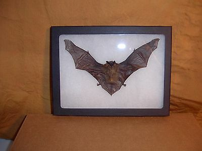 Framed Bat Taxidermy Tylonycteris pachypus In Natural Position Display