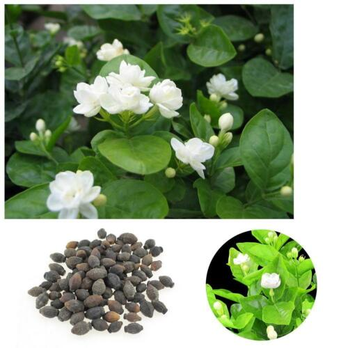 100Pcs Jasmine Flower Seeds Fragrant Home Garden Plant Seed Wedding Mode New