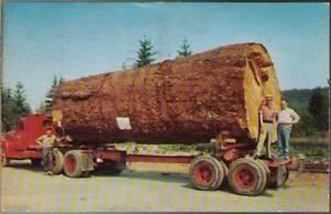 yxp-Postcard-Giant-Fir-Log