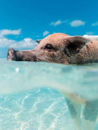Schwein schwimmend Meer x00161 Wand Deko Leinwand Bilder