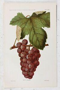 Details about Antique Chromolithograph Print Critic Grape Kitchen Decor  Fruit Art Agriculture