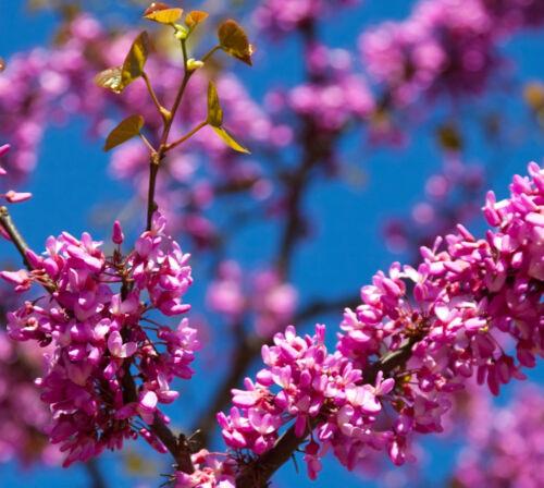 essbar 75 Samen Liebesbaum tolles Blütenmeer Judasbaum Cercis siliquastrum