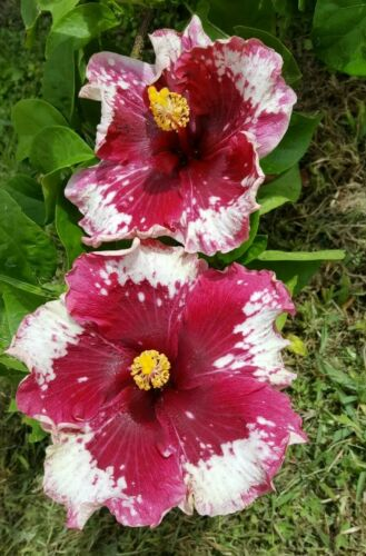 EXOTIC PURPLE MAGIC HIBISCUS LIVE PLANT 10 INCHES TALL OR MORE
