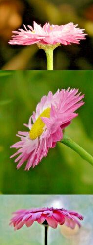 50//300 Graines Acroclinium Immortelle Géant Mélange Helipterum Fleur à Secher