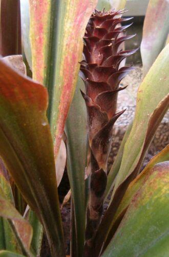 Pitcairnia Especie Mixta Cliff Piña 25 Semillas