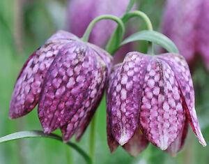 25-Samen-Schachblume-Fritillaria-meleagris-Schachbrettblume-Kiebitzei-Rar