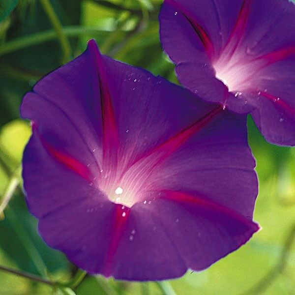 FLOWER MORNING GLORY IPOMOEA BLACK KNIGHT 600 FINEST SEEDS
