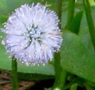 20 Samen Nacktstängelige Kugelblume, Globularia nudicaulis, winterhart