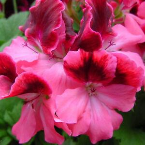 20Pc-Flower-Samens-Red-Geranium-Samens-Home-Garden-Decor-Color-Fresh-Samen-New