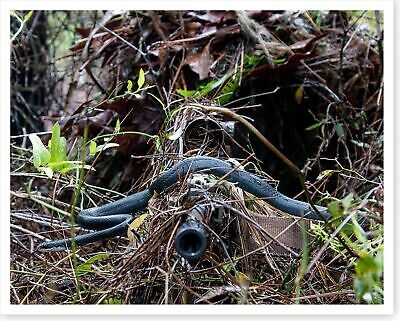 Snake Slithers Across Sniper Rifle Barrel US Army Silver Halide Photo