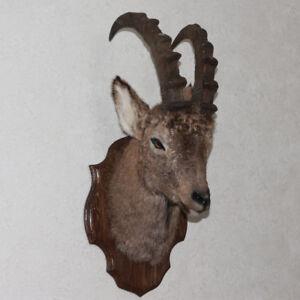 Siberian Ibex Taxidermy Head Shoulder Mount Wild Goat Mounted
