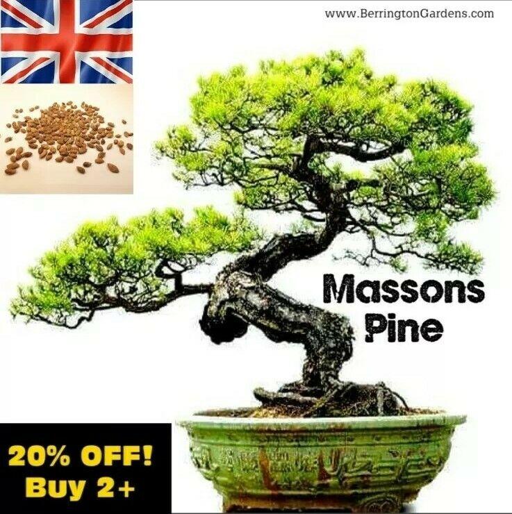 ☆Masson's Chinese Red Pine Tree 3g 160x Seeds (Pinus massoniana) Bonsai Subject