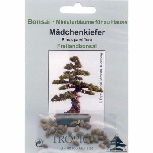 Bonsai Mädchenkiefer 90008 12 Samen von Pinus parviflora
