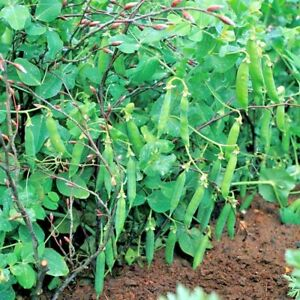 Vegetable-Pea-Meteor-Appx-150-seeds-First-Early