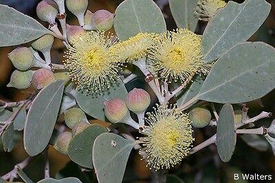 ROUND-LEAVED MALLEE (Eucalyptus orbifolia) 30 seeds
