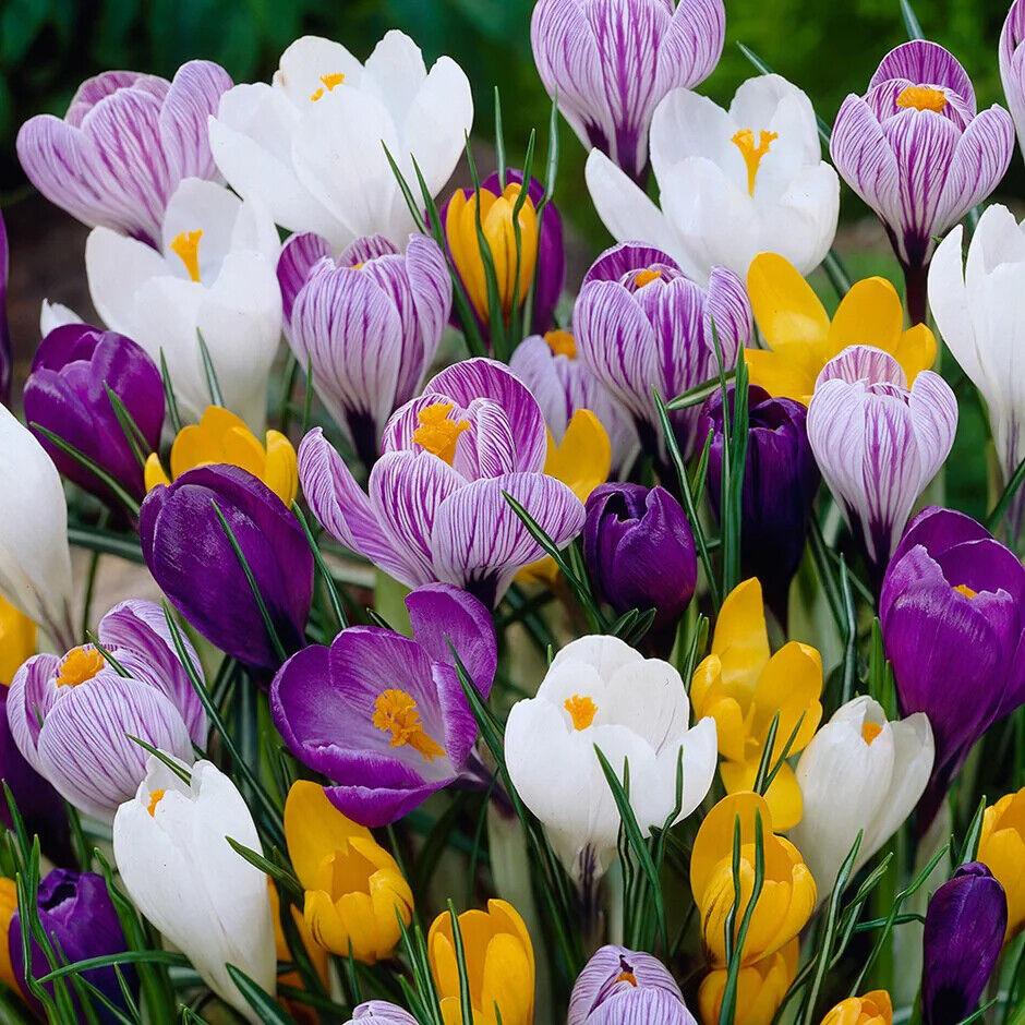 CROCUS BULBS MIXED COLOUR PERENNIAL GARDEN PLANT SPRING BLOOMS FLOWERS
