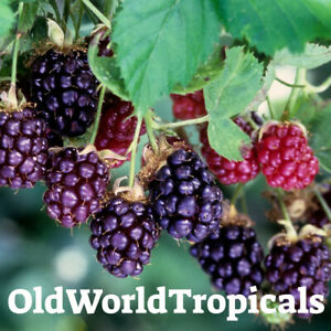 LIVE-Boysenberry-Plant-Exotic-Edible-Berries-Ornamental-Bush