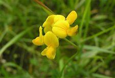 Fairy Garden x25 Wild Birdsfoot Trefoil seeds Fairy Garden, Wild  Flower Seed