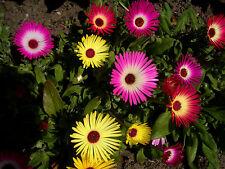 Eiskraut Eisblume 250 Samen Mittagsblume Mesembryanthemum Criniflorum