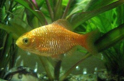 5 (cinque) Del Golden Rosy Ricurva (cumingii Conchonius)-