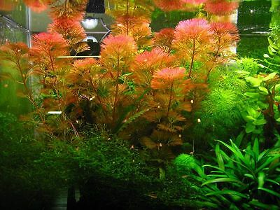 cabomba rouge piauhyensis / furcata 7 pieds 15/25cm  plante aquarium