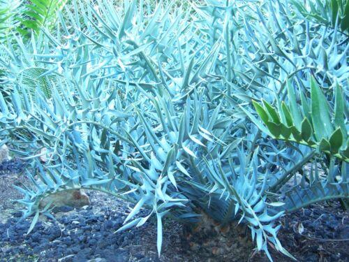 Encephalartos Dwarf Horridus HEWSON COLLECTION Cycad Ice Blue Cycads Nursery